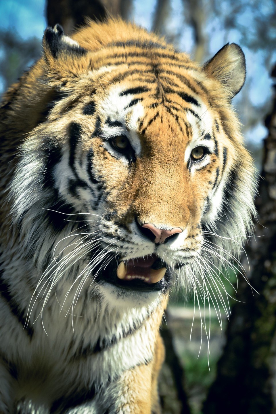 http://humanstories.photography/wp-content/uploads/2015/05/tiger-005-copy-e1431313008347-960x1438_c.jpg