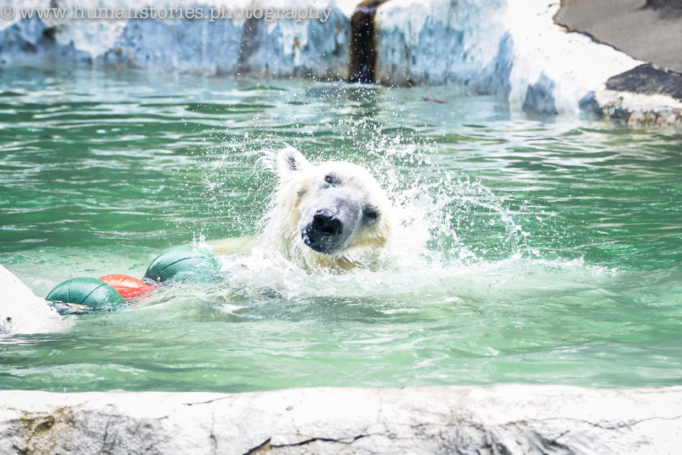 http://humanstories.photography/wp-content/uploads/2015/07/polar-bear-001-copy-960x641_c.jpg